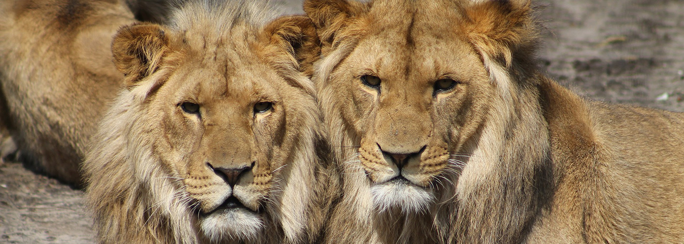 lions_web
